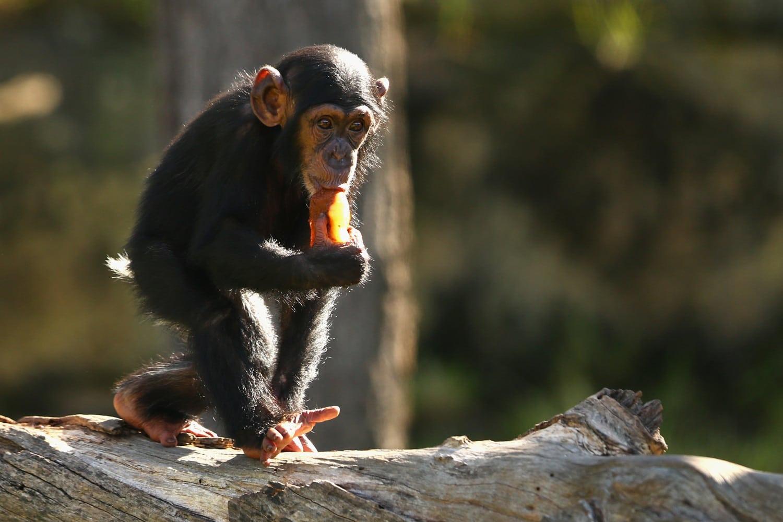 baby chimpanzee photo