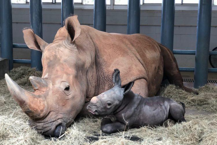 Disney's Animal Kingdom baby rhino