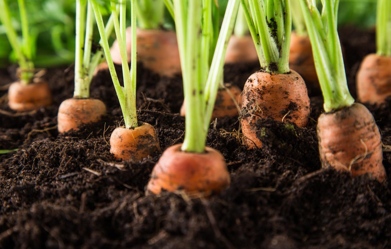 Carrots growing in a vegetable garden